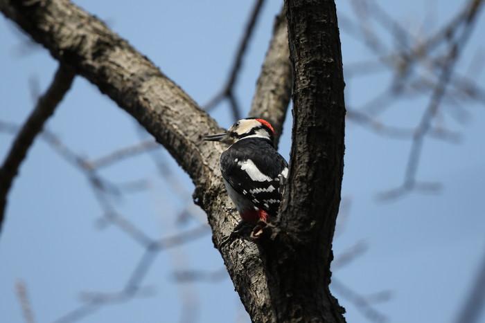 赤松林でアカゲラを撮る_f0239515_8133010.jpg