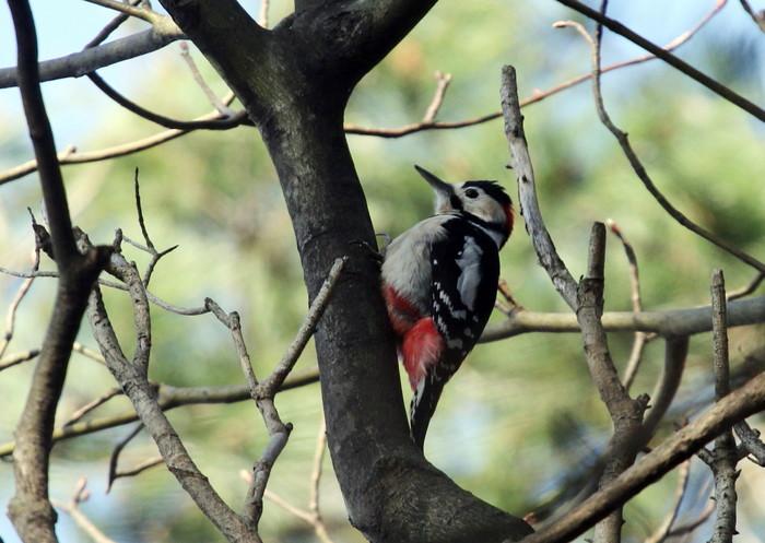 赤松林でアカゲラを撮る_f0239515_881711.jpg