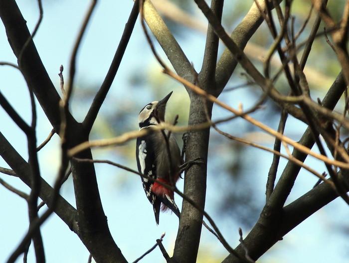 赤松林でアカゲラを撮る_f0239515_884594.jpg
