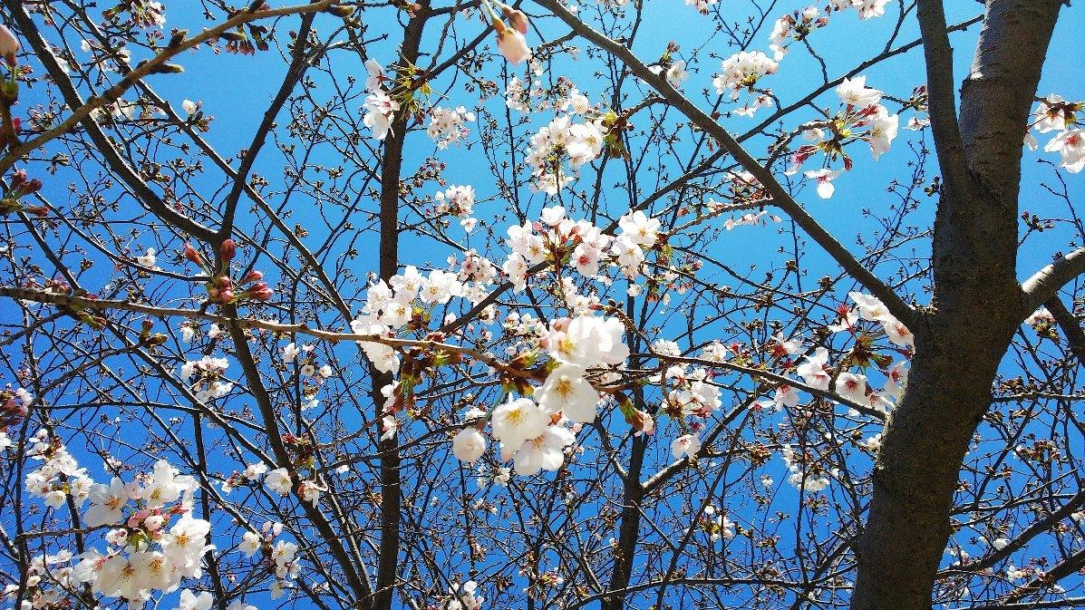 桜_d0044722_10400552.jpg