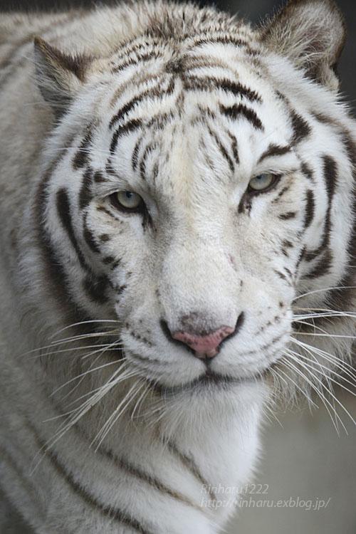 2020.3.8 東北サファリパーク☆ホワイトタイガーのマリンくん【White tiger】_f0250322_15123099.jpg