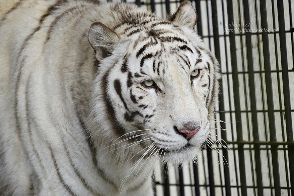 2020.3.8 東北サファリパーク☆ホワイトタイガーのマリンくん【White tiger】_f0250322_15123528.jpg
