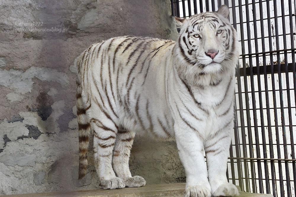 2020.3.8 東北サファリパーク☆ホワイトタイガーのマリンくん【White tiger】_f0250322_15124180.jpg