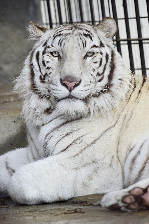 2020.3.8 東北サファリパーク☆ホワイトタイガーのマリンくん【White tiger】_f0250322_15133616.jpg