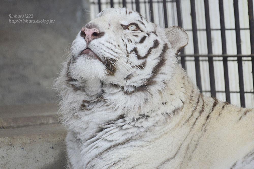 2020.3.8 東北サファリパーク☆ホワイトタイガーのマリンくん【White tiger】_f0250322_15134266.jpg