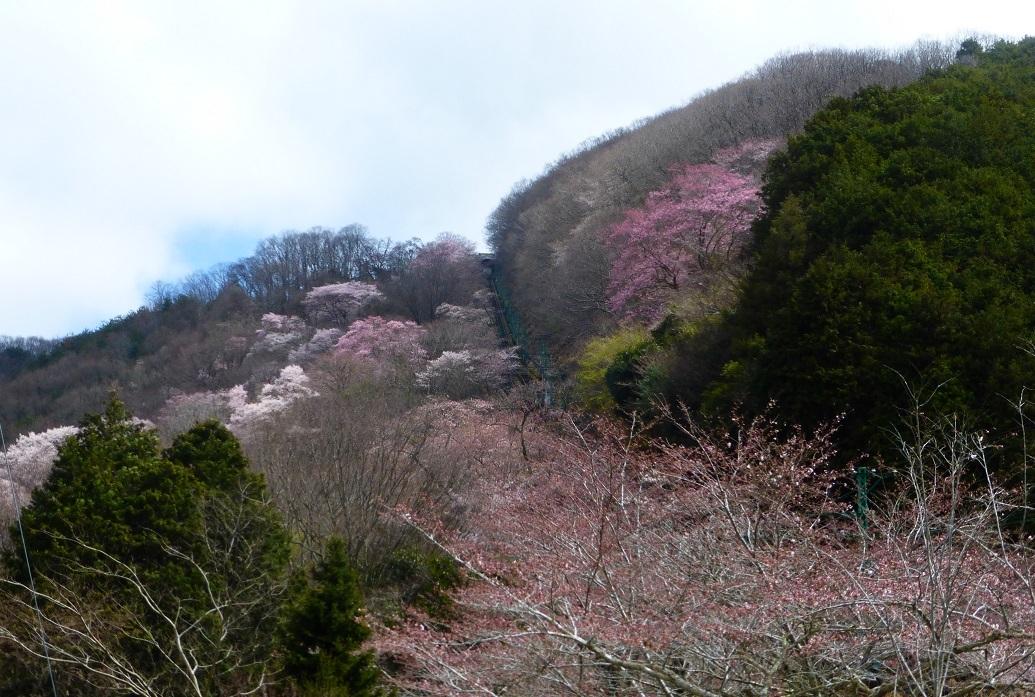 2020年3月29日現在桜の開花状況_d0024426_21450785.jpg