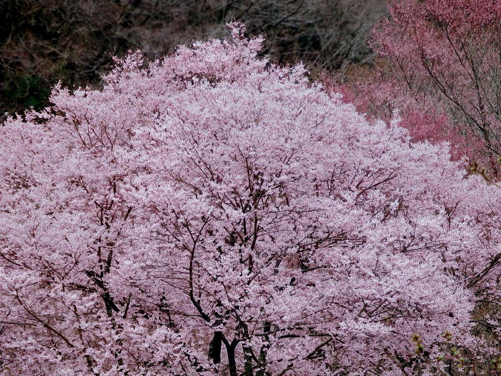 2020年3月29日現在桜の開花状況_d0024426_22292977.jpg