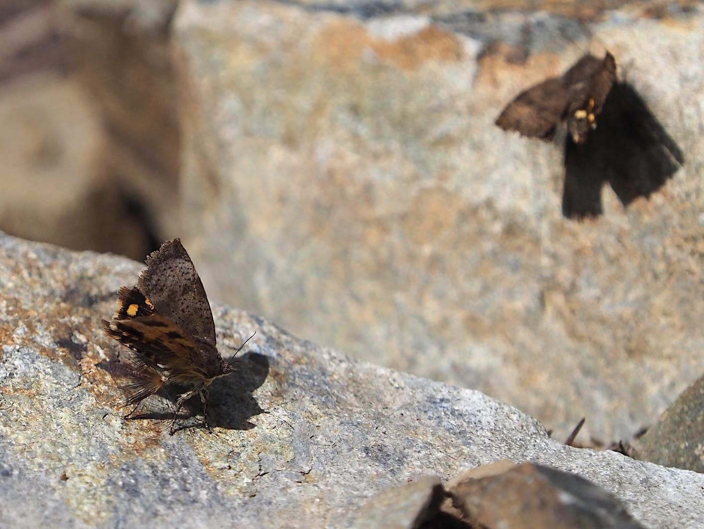 春の林道の蛾たち(2020年3月19日)_d0303129_16424411.jpg