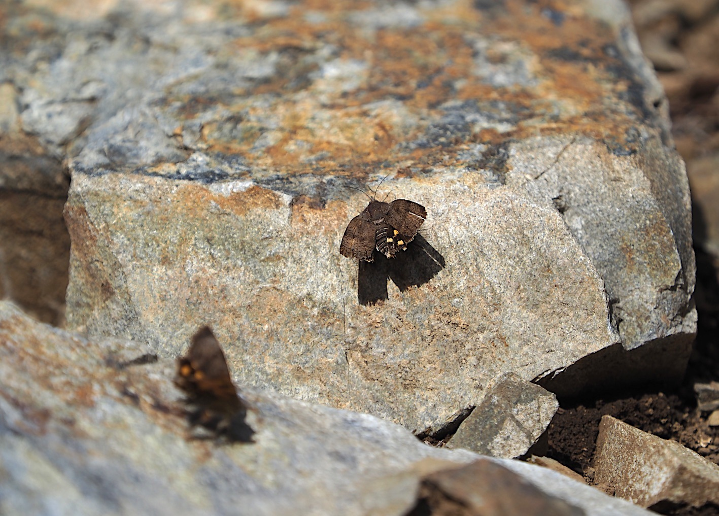 春の林道の蛾たち(2020年3月19日)_d0303129_16424724.jpg