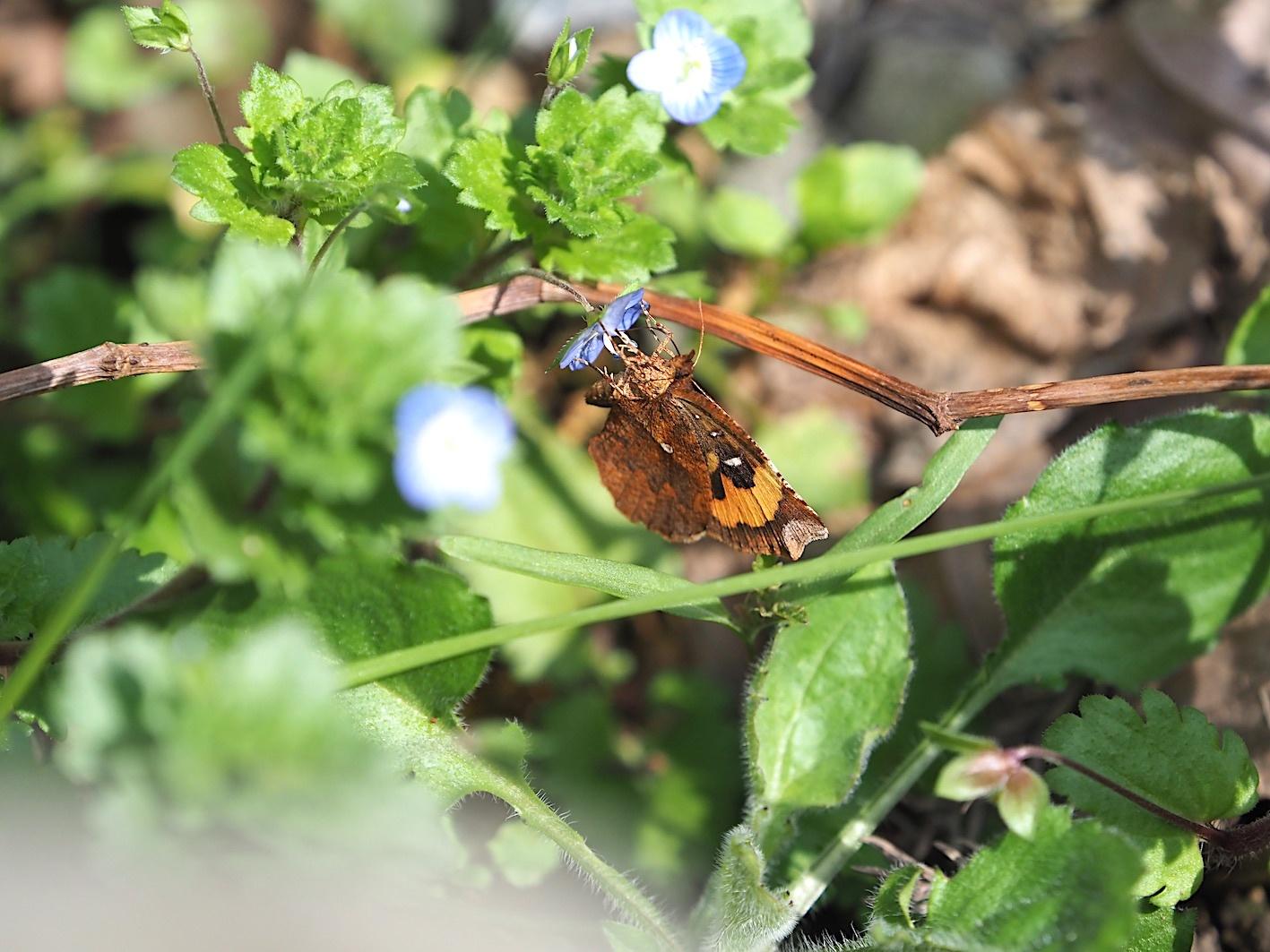春の林道の蛾たち(2020年3月19日)_d0303129_16431065.jpg