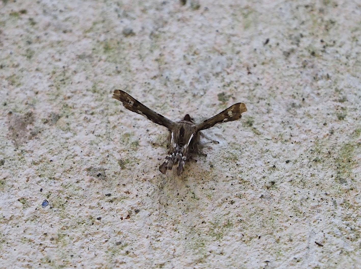 春の林道の蛾たち(2020年3月19日)_d0303129_16433780.jpg
