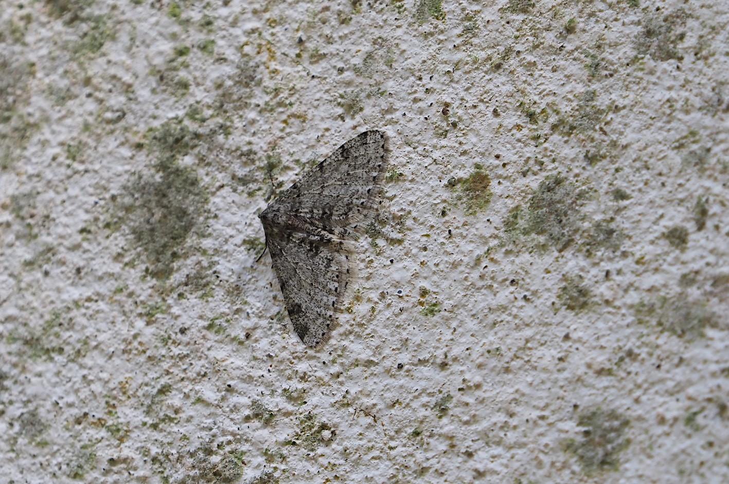 春の林道の蛾たち(2020年3月19日)_d0303129_16434147.jpg