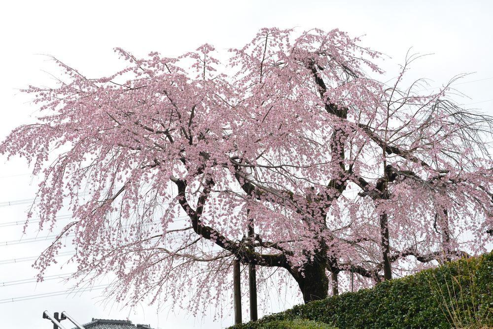 2020年の正門前枝垂桜_e0373930_20145077.jpg