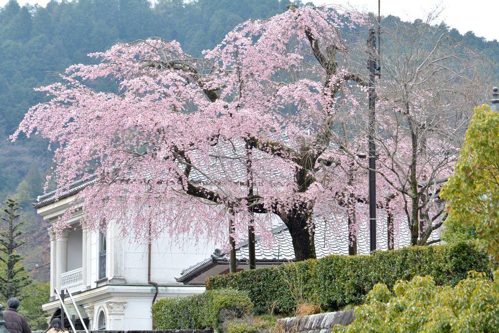 2020年の正門前枝垂桜_e0373930_20145093.jpg