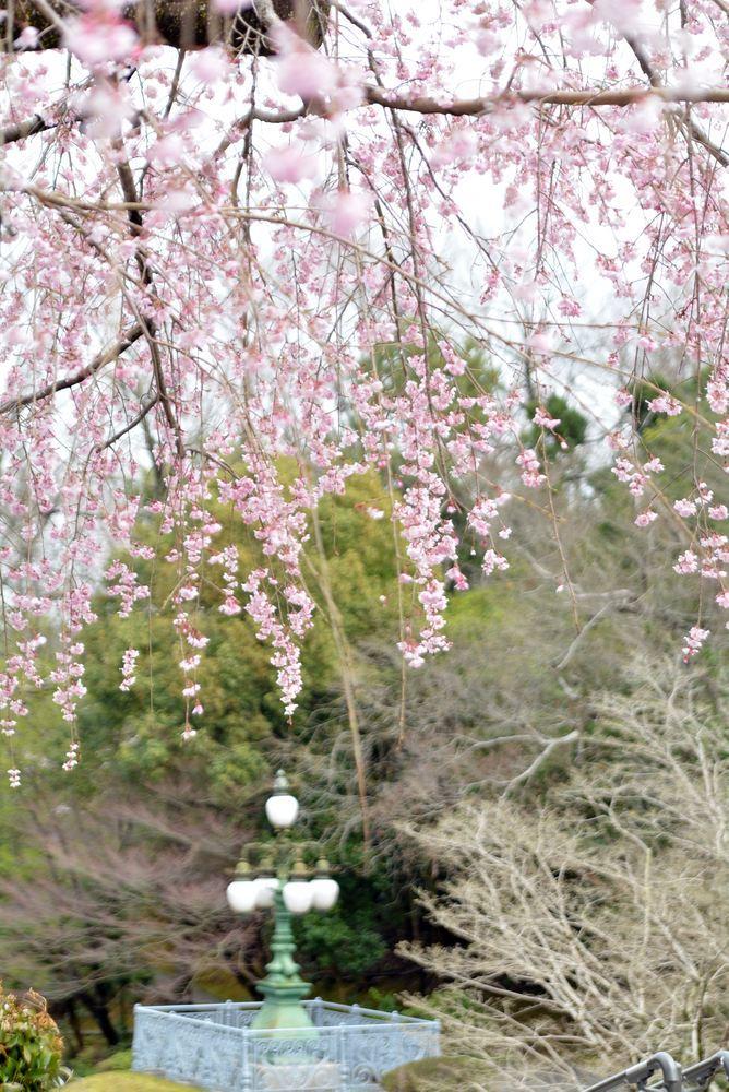 2020年の正門前枝垂桜_e0373930_20145123.jpg