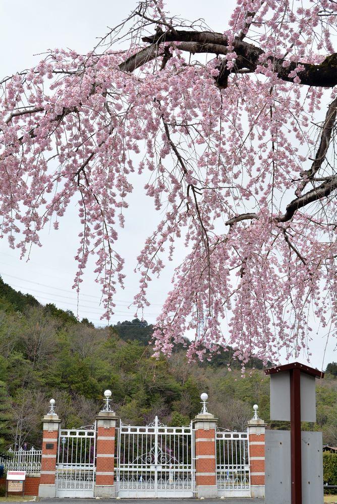 2020年の正門前枝垂桜_e0373930_20145125.jpg