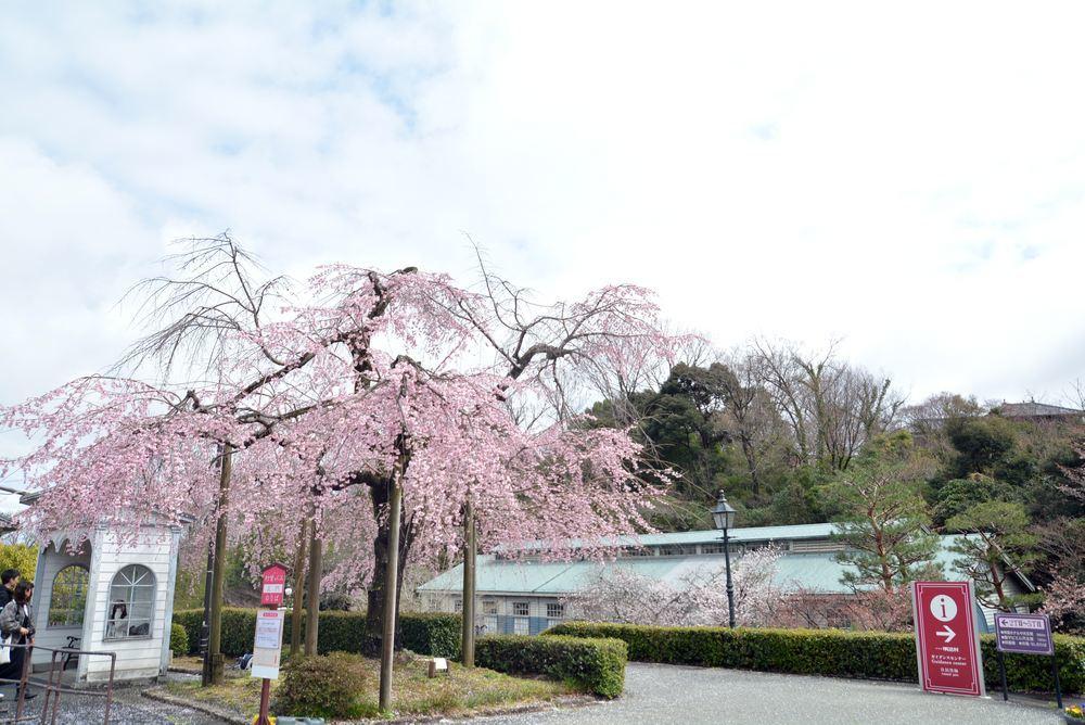 2020年の正門前枝垂桜_e0373930_20145180.jpg