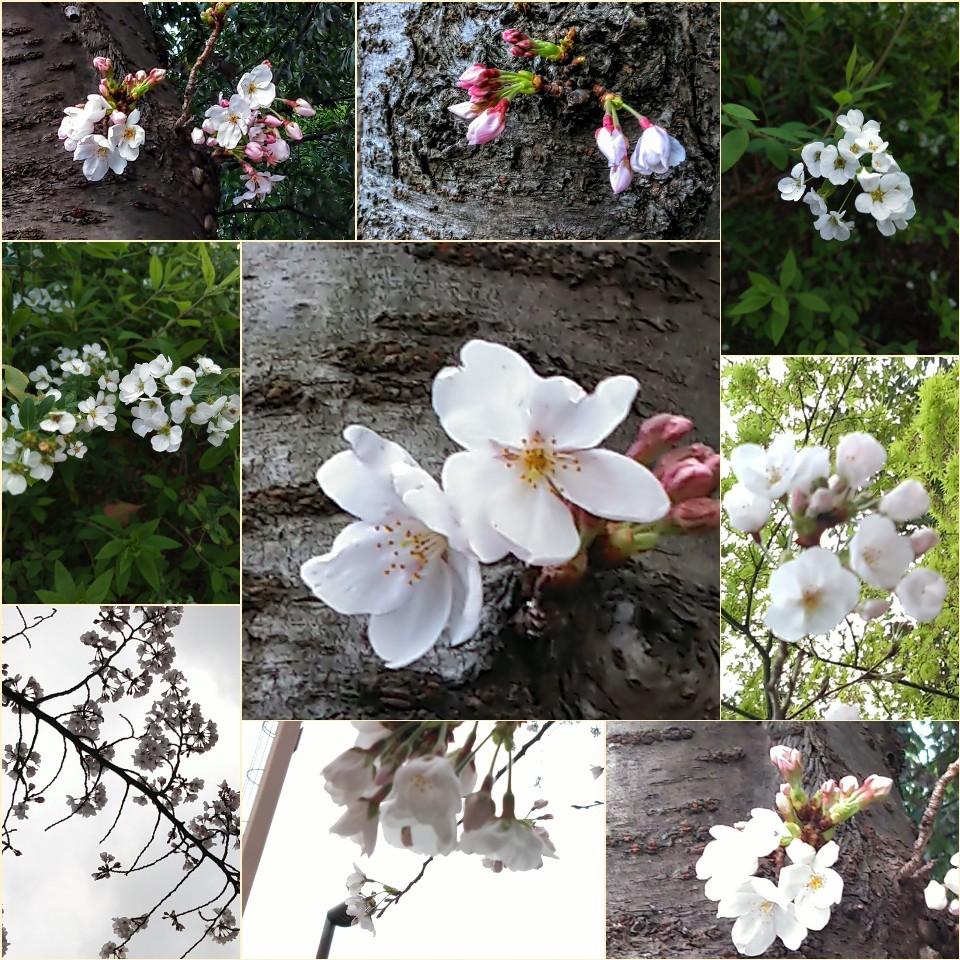 純粋に 花🌸を愛でる花見_c0289636_22485901.jpg