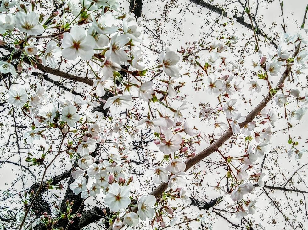 純粋に 花🌸を愛でる花見_c0289636_22485922.jpg