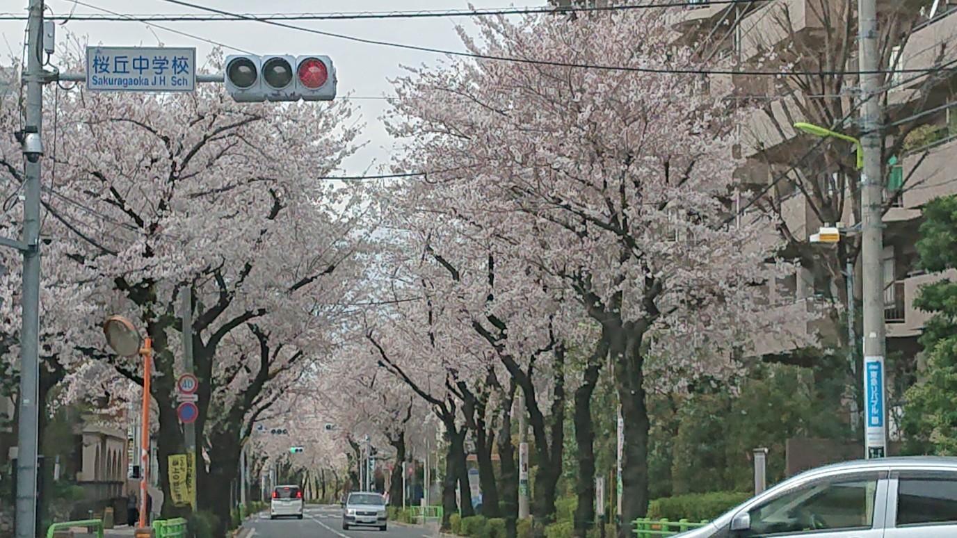桜、見納め_d0155439_10541111.jpg