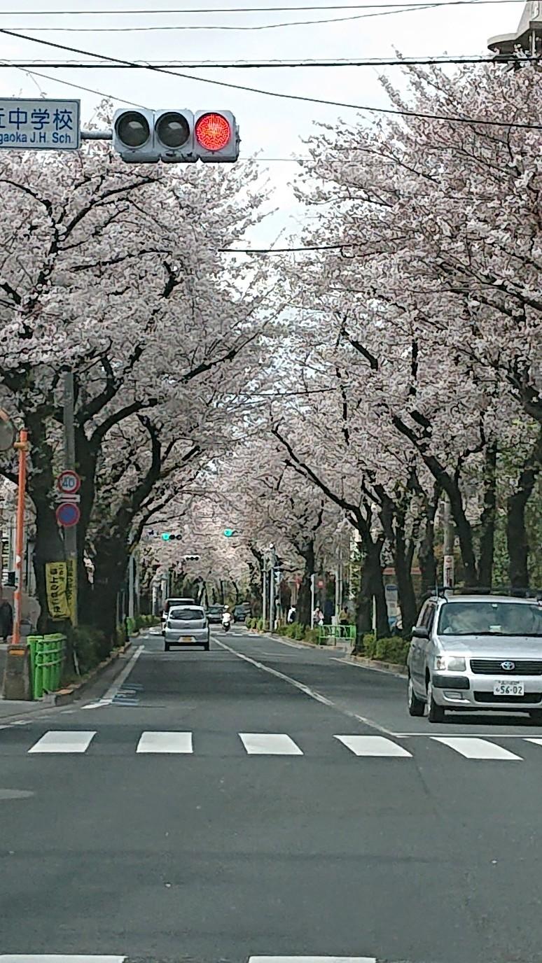 桜、見納め_d0155439_10542947.jpg