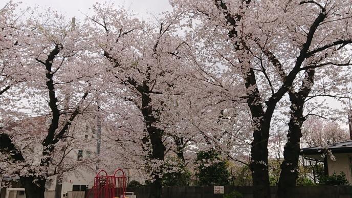 桜、見納め_d0155439_10545026.jpg