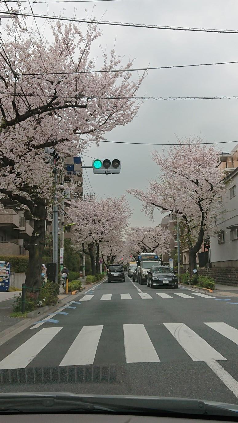 桜、見納め_d0155439_10553853.jpg