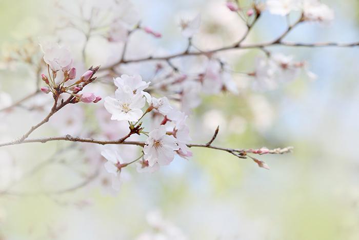桜レッスン_b0049843_10431014.jpg