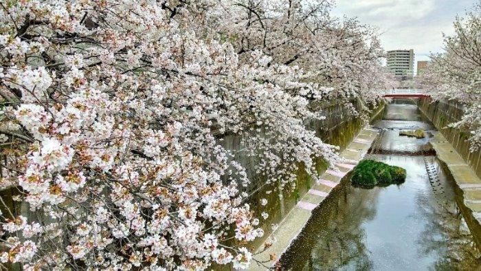 2020年3.28-29自粛の桜_d0039443_15565843.jpg