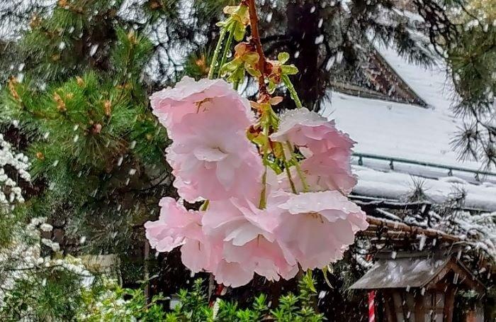 2020年3.28-29自粛の桜_d0039443_15595081.jpg