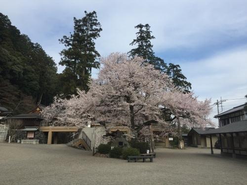 桜満開~!_c0331145_17534058.jpg