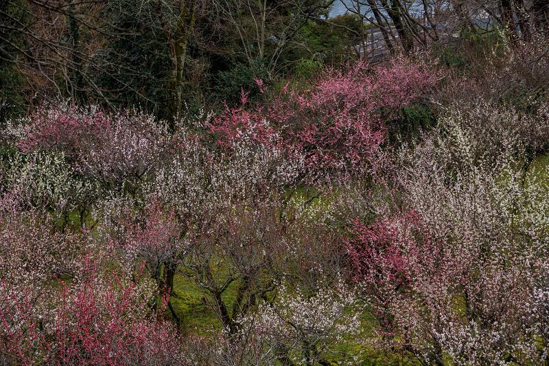 梅の季節・寒桜を添えて(石山寺)_f0155048_22594210.jpg