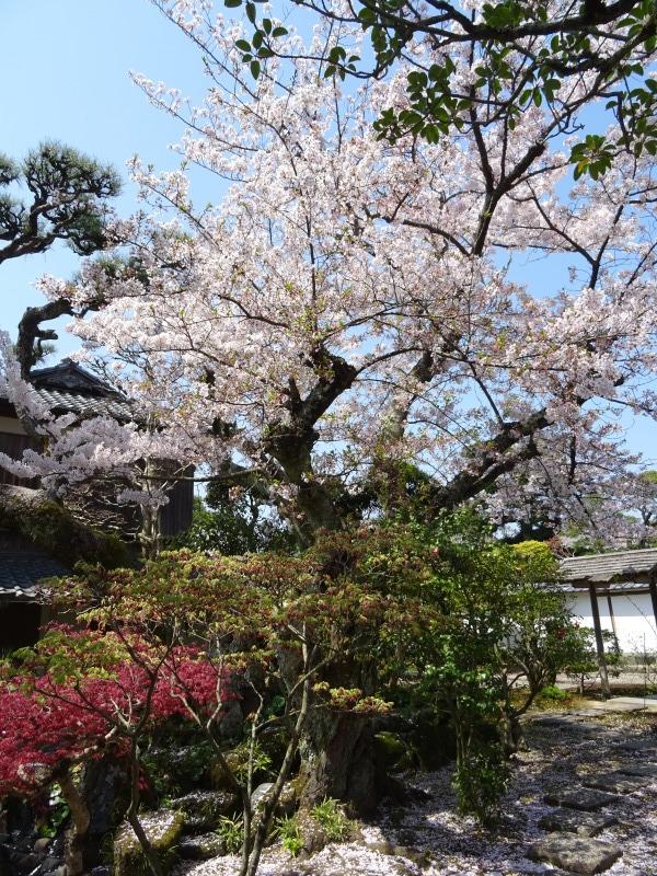 菊屋家住宅の桜_f0101949_10182258.jpg