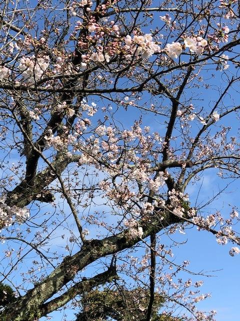 菊屋家住宅の桜_f0101949_10264525.jpeg