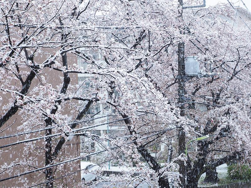 桜と雪_a0003650_22185639.jpg