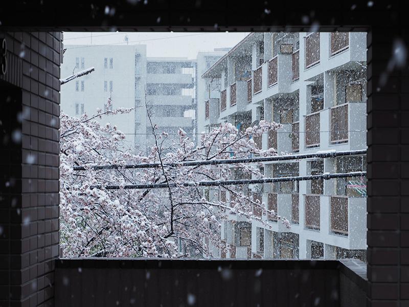 桜と雪_a0003650_22222416.jpg