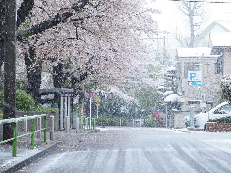 桜と雪_a0003650_22223917.jpg