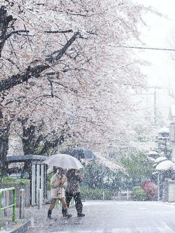 桜と雪_a0003650_22224542.jpg