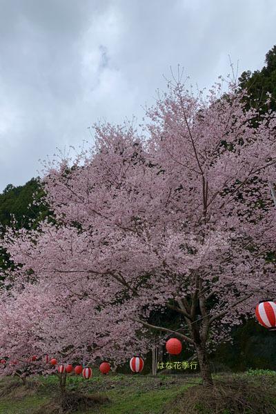 2020 桜記録_d0036450_07561703.jpg
