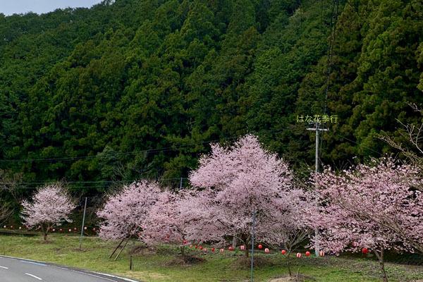 2020 桜記録_d0036450_07561706.jpg