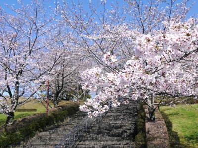 菊池公園、菊池神社の桜photoコレクション 2020_a0254656_16492219.jpg