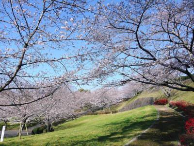 菊池公園、菊池神社の桜photoコレクション 2020_a0254656_16502863.jpg