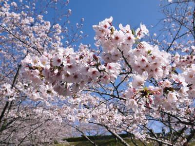 菊池公園、菊池神社の桜photoコレクション 2020_a0254656_16550441.jpg
