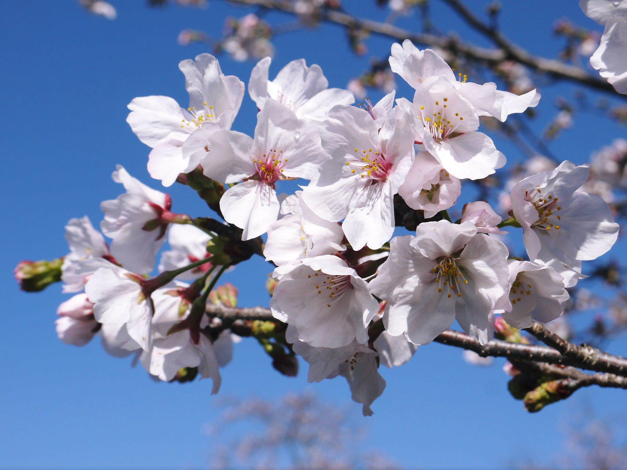 菊池公園、菊池神社の桜photoコレクション 2020_a0254656_18161664.jpg