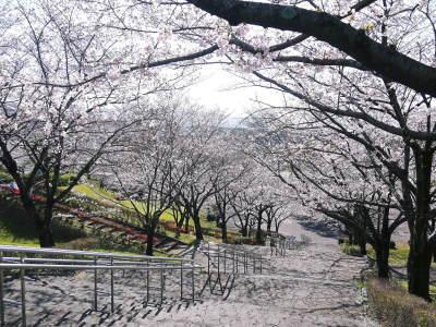 菊池公園、菊池神社の桜photoコレクション 2020_a0254656_18215978.jpg