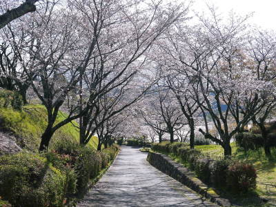 菊池公園、菊池神社の桜photoコレクション 2020_a0254656_18254747.jpg