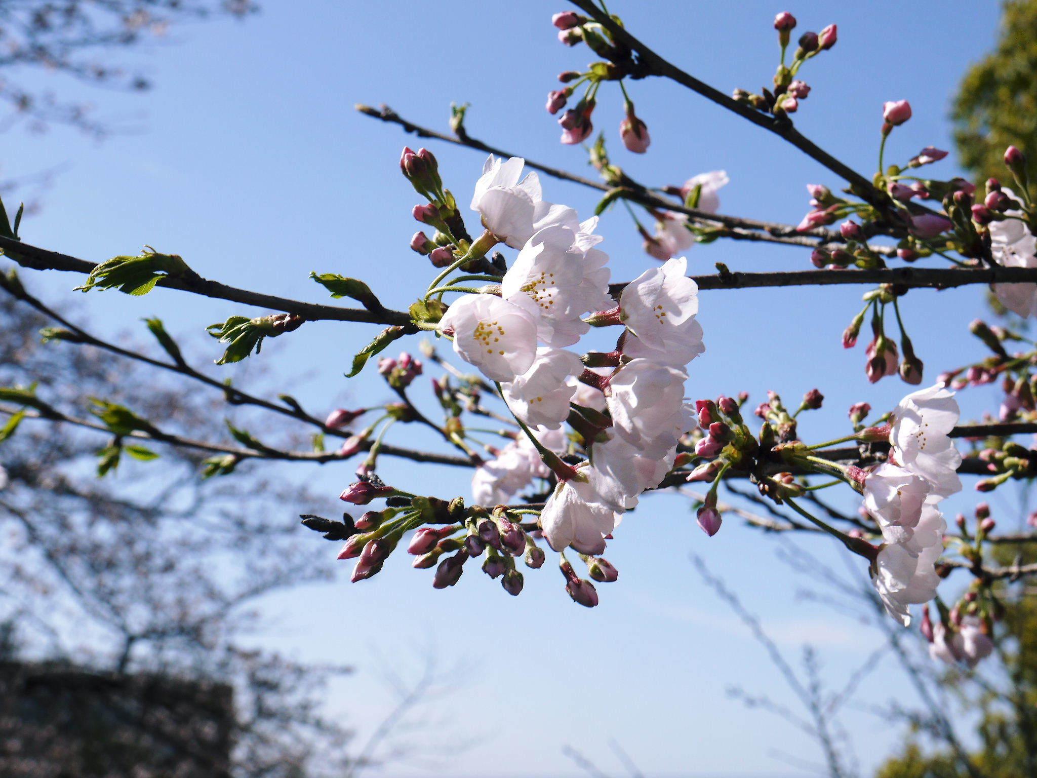菊池公園、菊池神社の桜photoコレクション 2020_a0254656_18575323.jpg