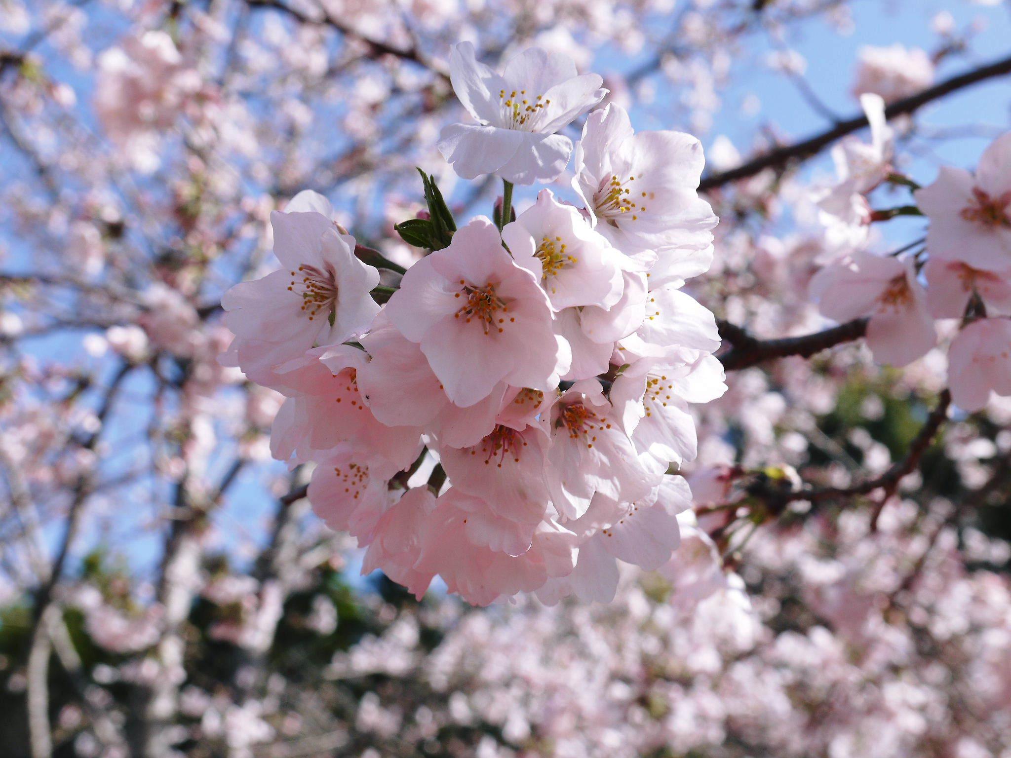 菊池公園、菊池神社の桜photoコレクション 2020_a0254656_18592437.jpg