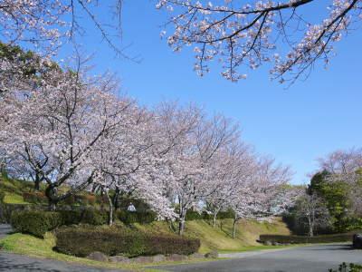 菊池公園、菊池神社の桜photoコレクション 2020_a0254656_19025782.jpg