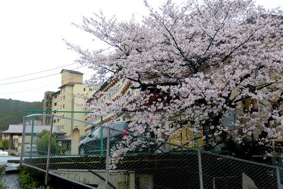 雨に咲く桜_b0145257_09031118.jpg